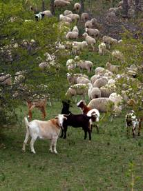 THE TRANSHUMANCE ON THE HIGHLANDS
